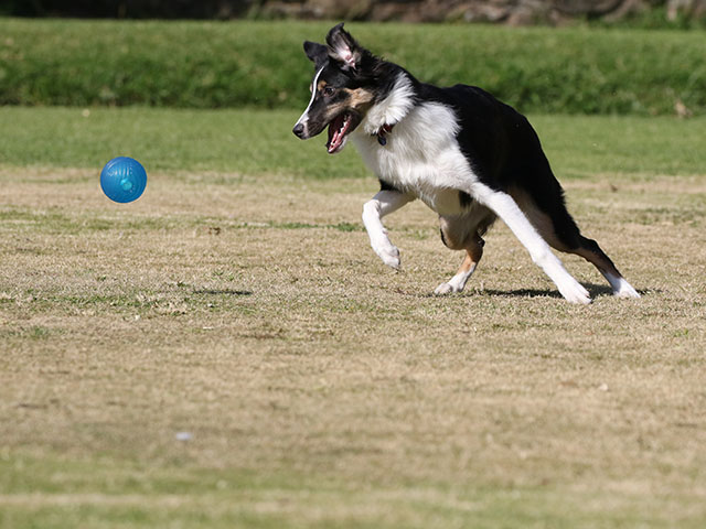 Images from Canon 100-400 f/4.5-5.6L IS II USM lens border collies